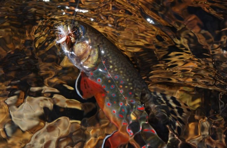 Fly Fishing Rainbow Trout in Smyth County VA