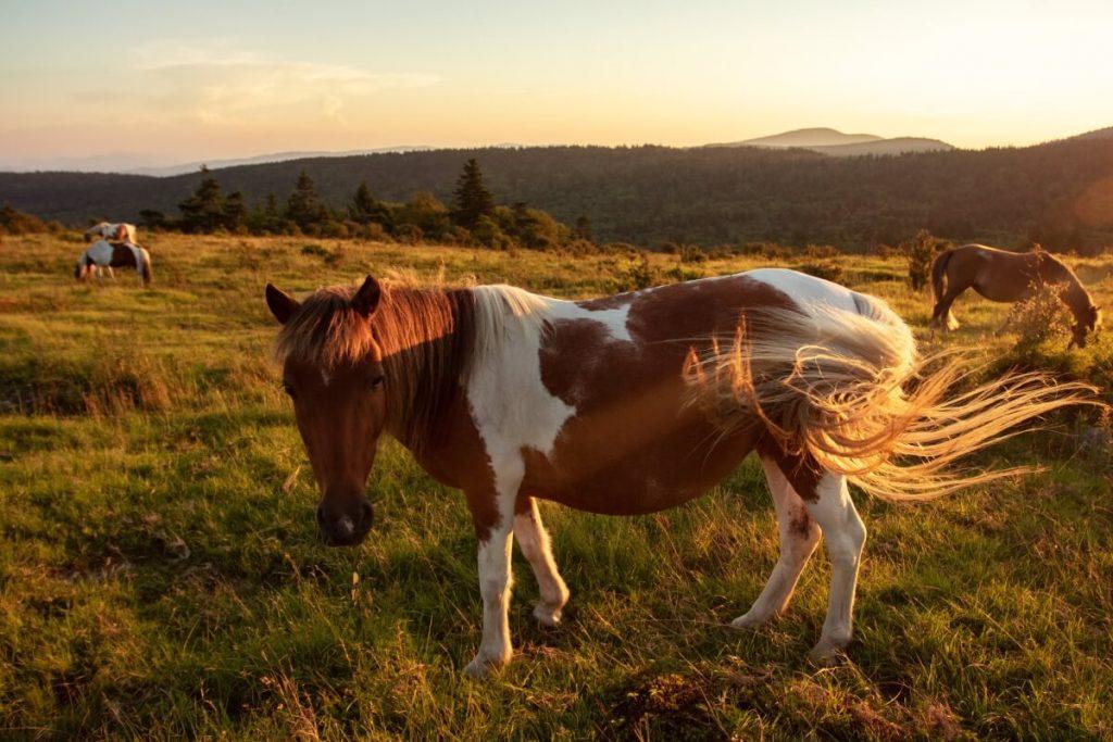 Grayson Highlands State Park Wild Ponies In Smyth County VA