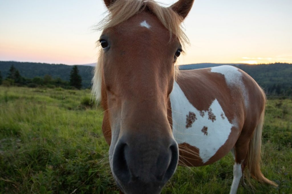 See the Wild Ponies at Grayson Highlands State Park in Smyth County VA